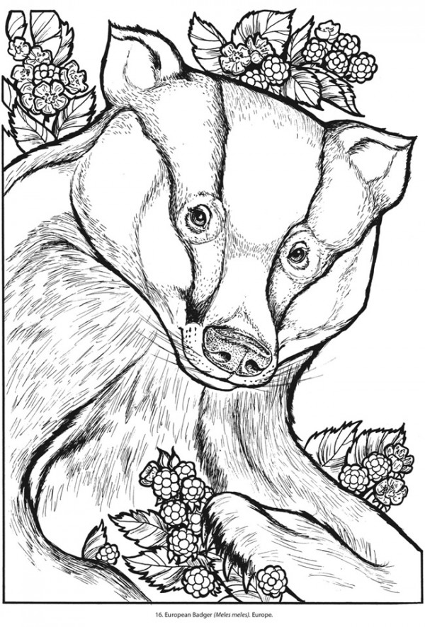 Badger coloring page - Animals Town - animals color sheet - Badger ... | 886x600