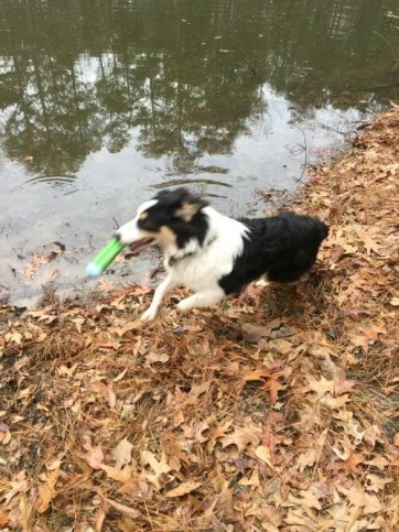 finn-getting-the-bumper-from-the-pond