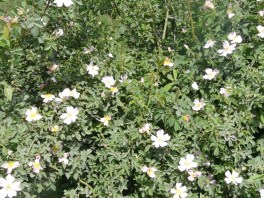 Măces / Dog rose / Rosa canina