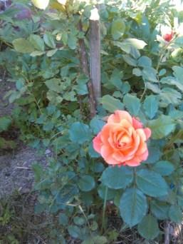 Trandafirul meu favorit