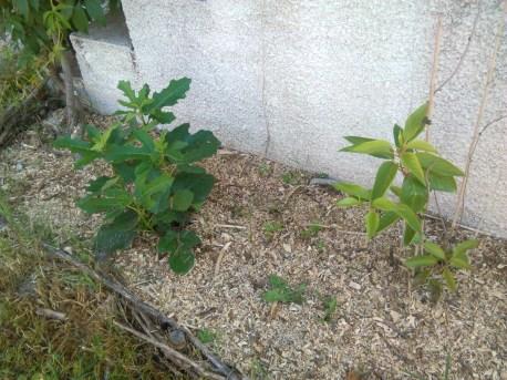 Smochinul şi kiwi