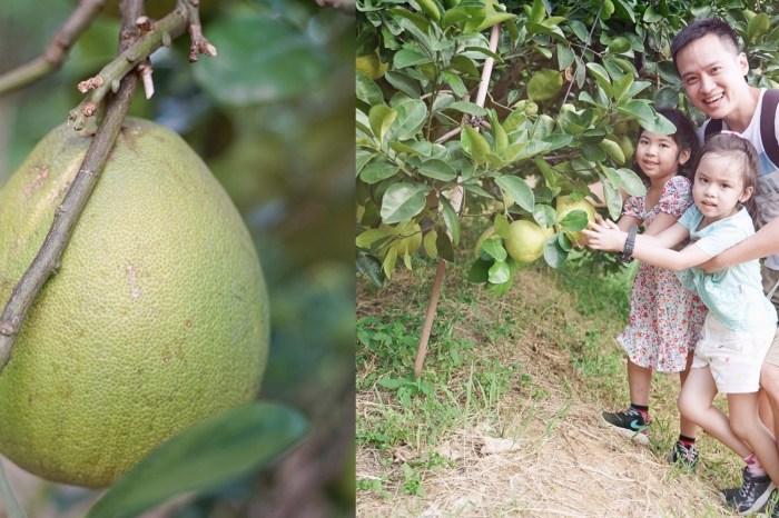 苗栗西湖四季豐收食之旅|九榕塘有機文旦果園|帶有蜂蜜味道的有機柚子