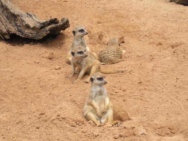 Meerkats at Taronga Zoo (April 2008)