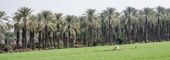 Palms near Dagania Alef