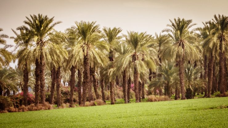 Palm trees near Degania Aleph, South Shore, Sea of Galilee