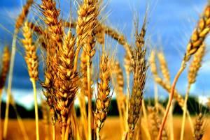 wheatorweeds