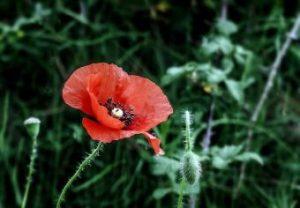 poppy-3438668_640
