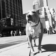 NEW YORK Stands Up For Pits in 3 DAYS!