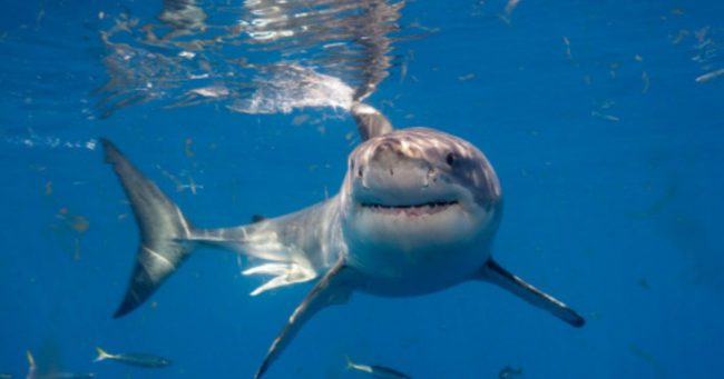 Mary Lee great white shark OSEARCH