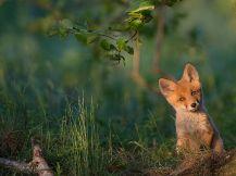 red-fox-estonia_91836_990x742