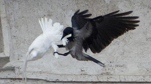 napad-golub