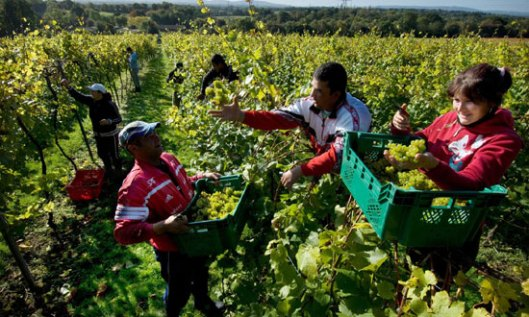 Слободан проток радне снаге: румунски берачи грожђа у енглеском винограду (Photograph: Alamy)