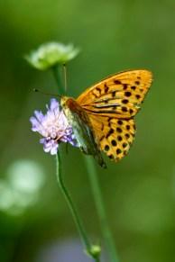 Бабочка на полевом цветке. Окрестности Станьково. Лето 2011. Фото Ильи Бражникова