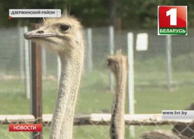 В Станьково на свет появились сразу 5 страусят