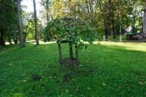 Недалеко от места, где кода-то росло уникальное графское дерево высадили три аналогичных, прижились два