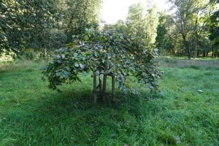 Молодой аналог станьковского чудо-дерева некогда росшего у графа