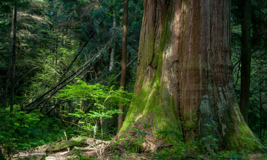 Red cedar with moss and a fern