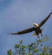 Bald eagle by Michael Schmidt.
