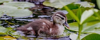 Wood duck Liron