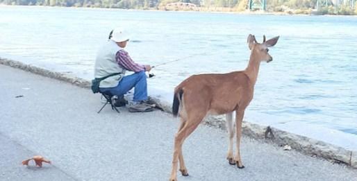 downtown-vancouver-deer-stanley-park-984x500