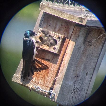 2016. Samantha Woods. Swallows on Lost Lagoon