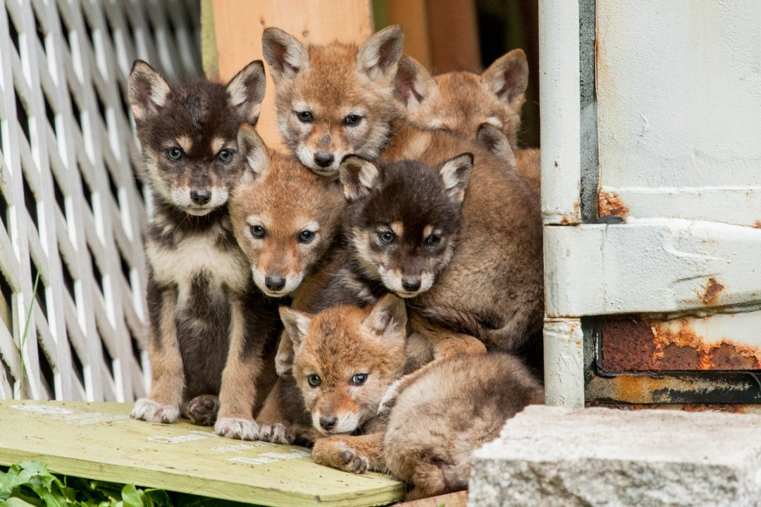 Coyote pups stacked adorably on top of each other
