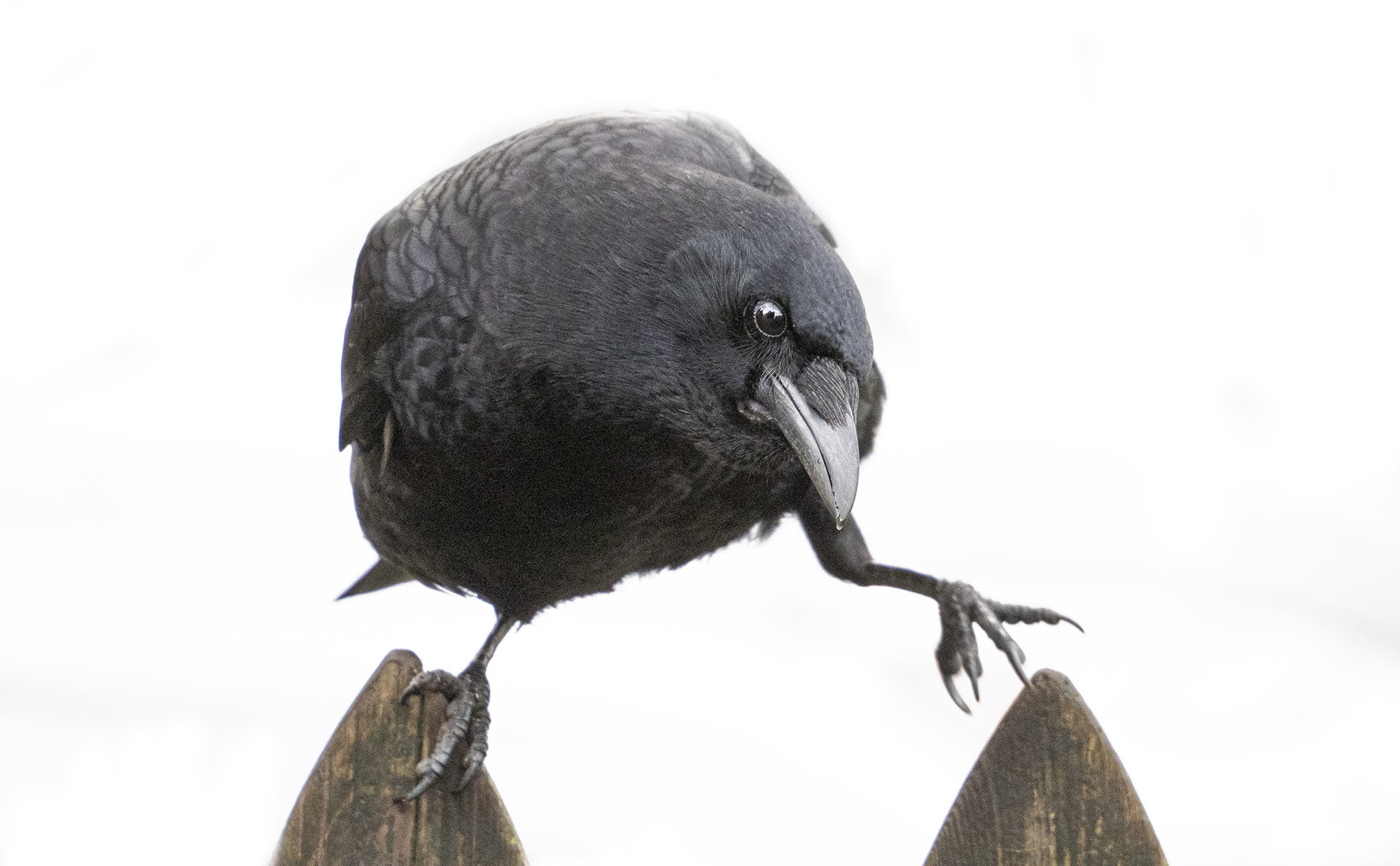 A crow balances between two fence posts while looking sideways at the photographer
