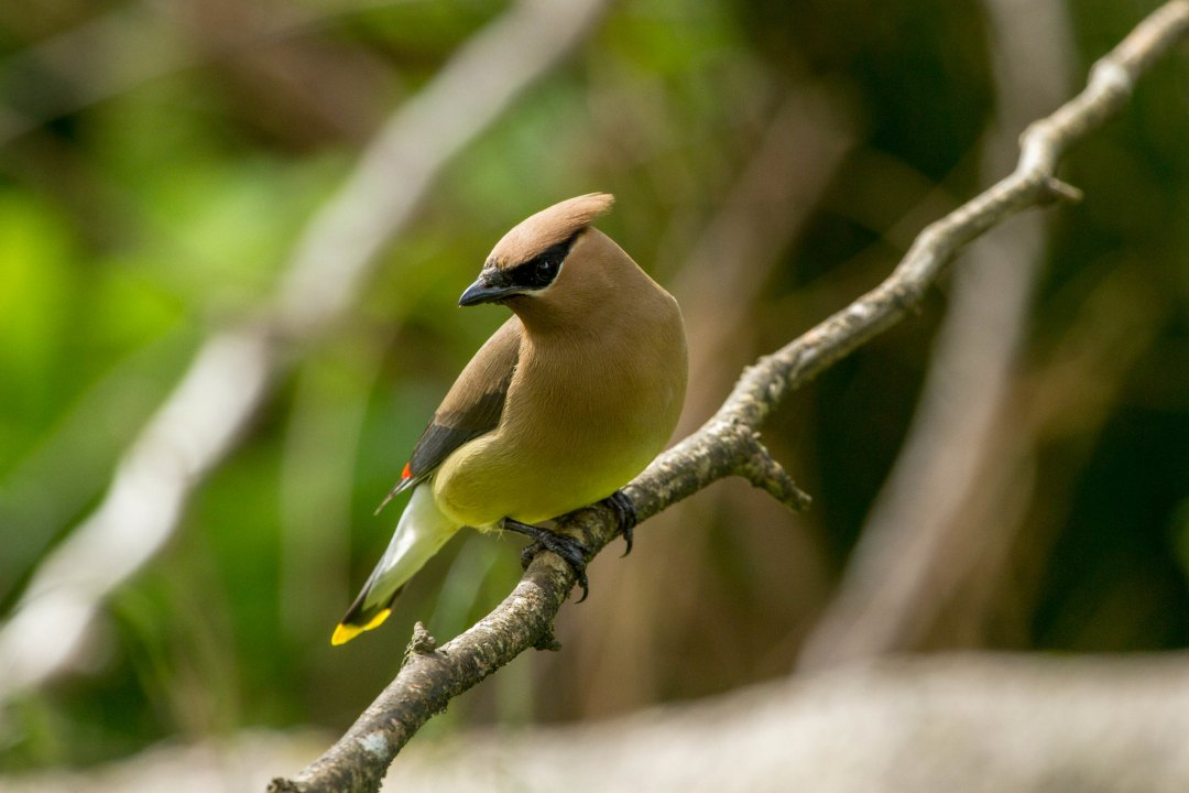 A Cedar-waxwing perched on a branch.