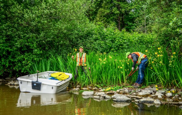 DIRT volunteers removing Yellow Flag Iris at Lost Lagoon