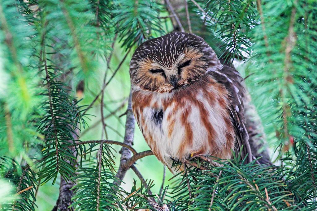 A tiny owl sleeps on a tree branch
