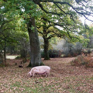 pannage pork