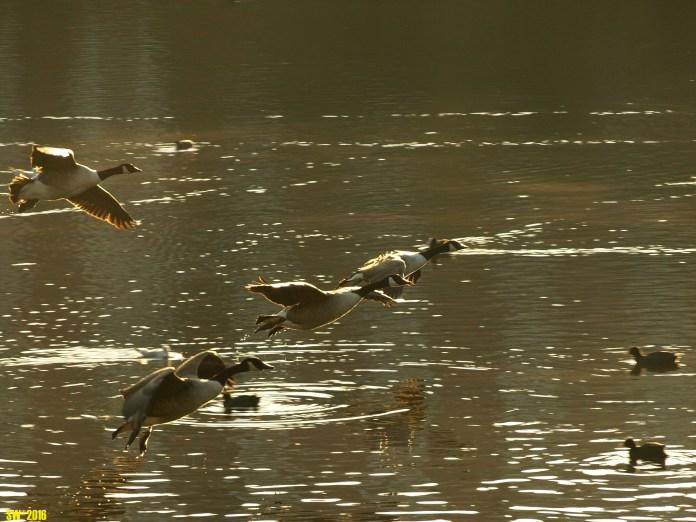 Geese take-off.jpg