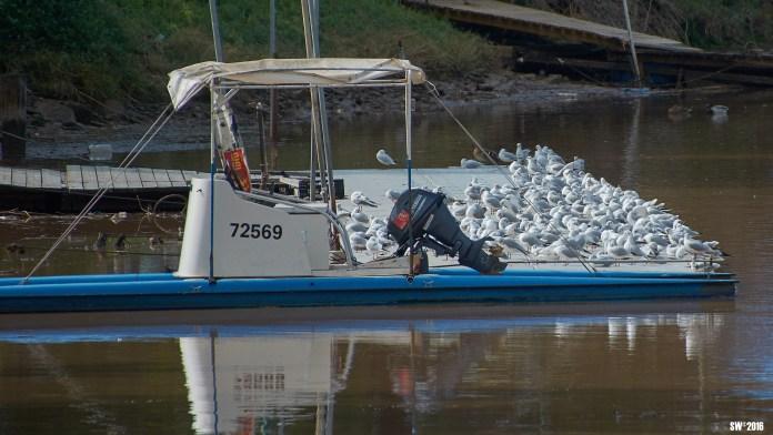 Gulls density.jpg
