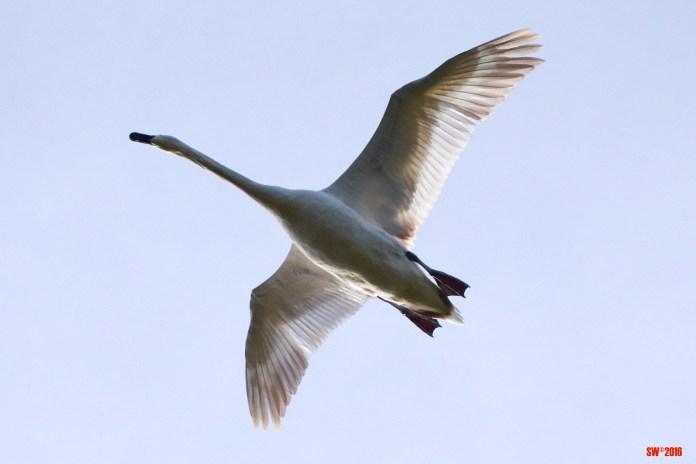 Swan in flight.jpg