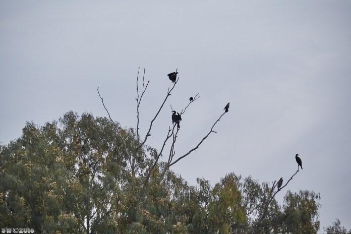 cormorants-1