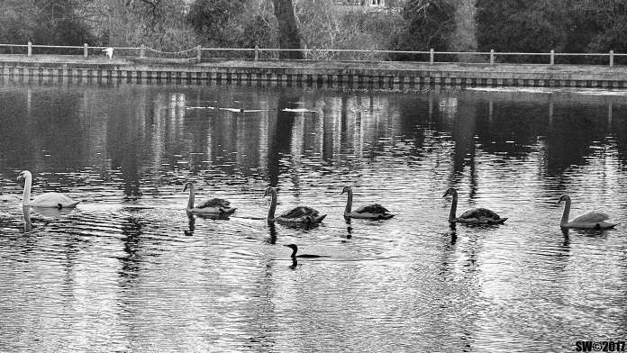 6-swans-and-a-friend-bw