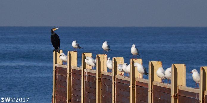 Cormorant and gulls