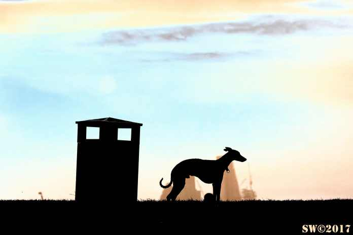 Greyhound Primrose