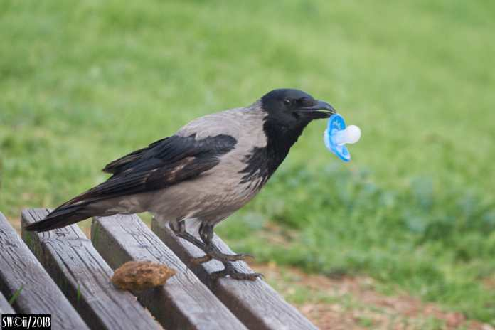 Crow soother.jpg