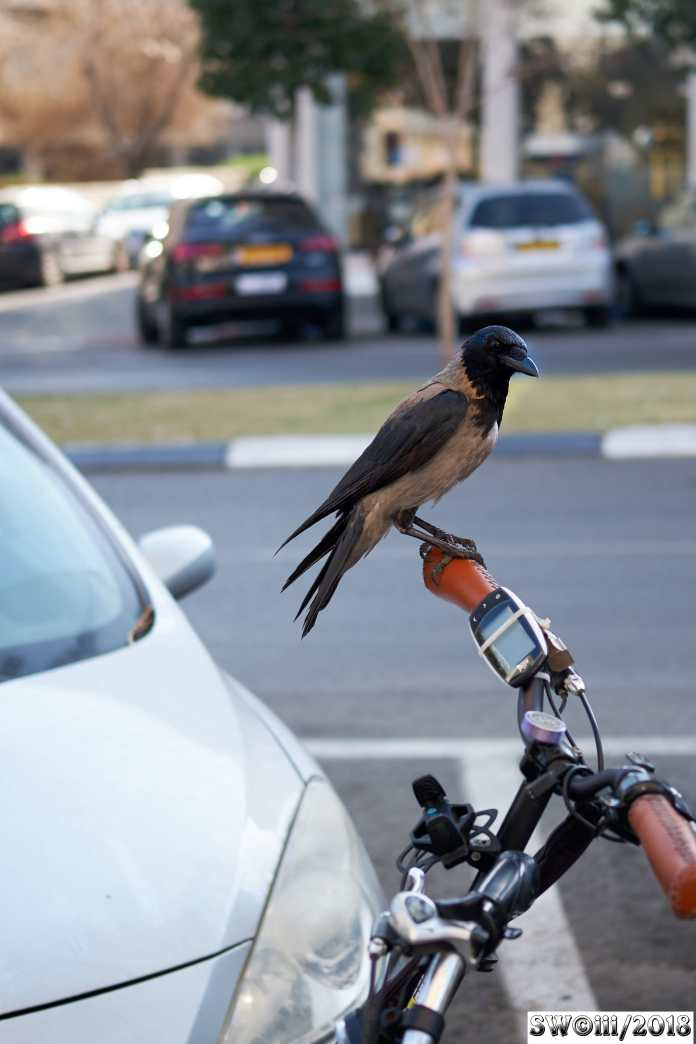 Crow on bike