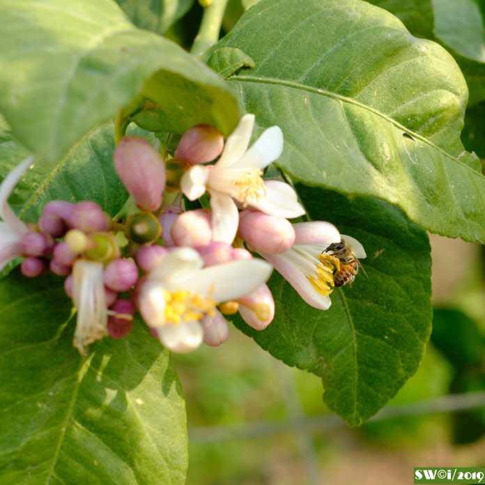 Lemon blossom.jpg