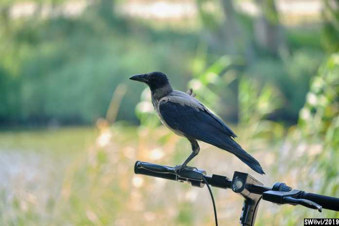 Crow 0