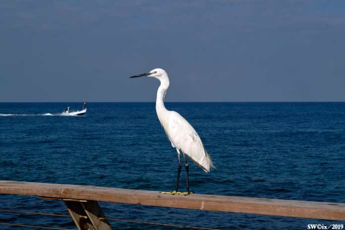 Egret in the port