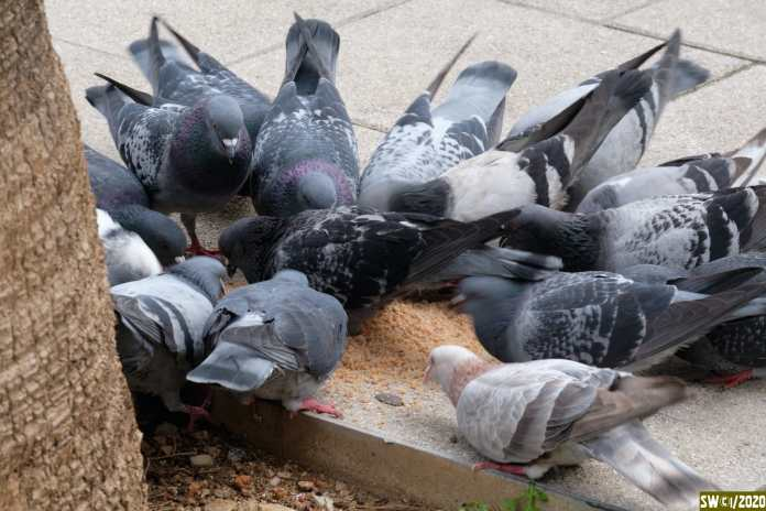 Well fed pigeons