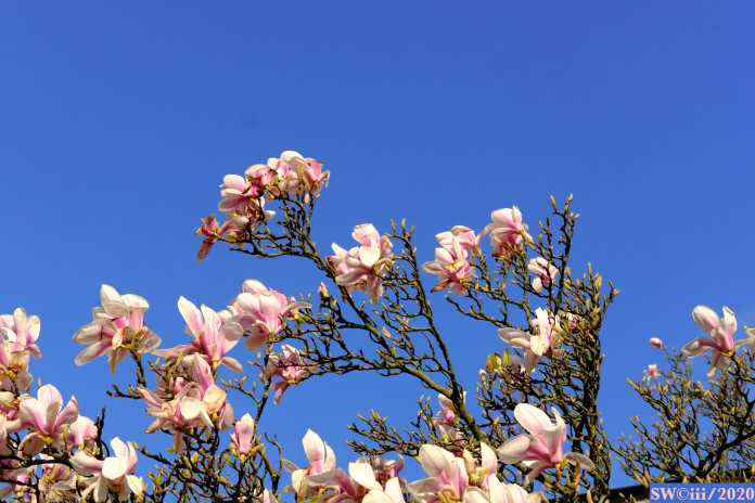 Magnolias in Belsize