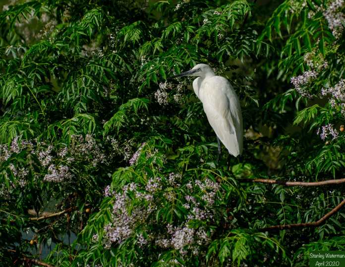 Egret, Park HaYarqon.jpg