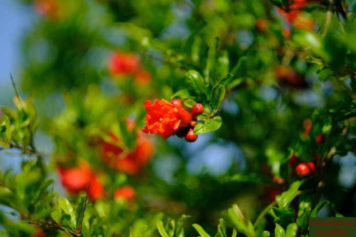 Pomegranates to be
