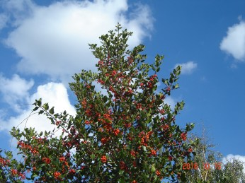 holly-berries-2