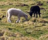 Shaun und Berta grasen friedlich, eigenes Foto, Lizenz: CC by