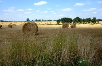 Even more round straw bales some hundred metres to the west. Own photo, licence: CC by-SA/ Creative Commons Attribution-Share Alike 3.0 Unported